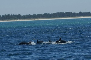 Native dolphins in the Sado Estuary